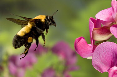 Bumblebee (Bombus morrisoni) queen, flying toward Sweet Pea flowers in the Deschutes National Forest, Oregon  -  Michael Durham