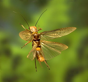 Golden Stonefly (Hesperoperla pacifica) carrying a load of parasitic mites flying near the bank of the Metolius River, Deschutes National Forest, Oregon  -  Michael Durham