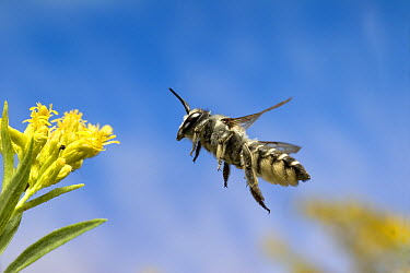 Leaf-cutting Bee (Megachile sp) flying towards a Goldenrod (Solidago sp) flower before collecting nectar and pollen, North America  -  Michael Durham