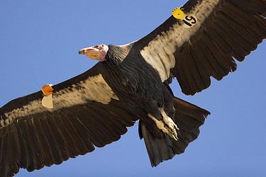 California Condor (Gymnogyps californianus) flying showing tagged wings, Big Sur, California  -  Michael Durham