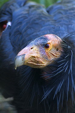 California Condor (Gymnogyps californianus) portrait, Big Sur, California  -  Michael Durham