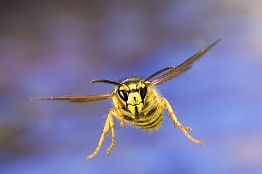 Yellowjacket (Vespinae) flying near Ochoco Pass in central Oregon  -  Michael Durham