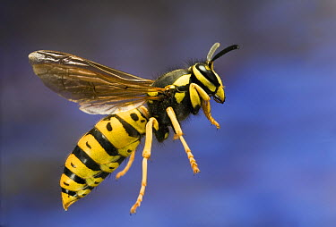 Yellowjacket (Vespinae) flying near Ochoco Pass in central Oregon. Photographed with a high-speed camera  -  Michael Durham