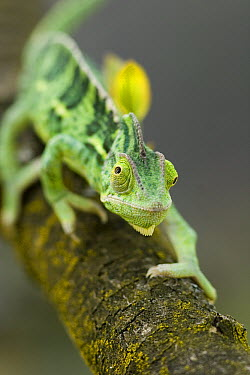 Veiled Chameleon (Chamaeleo calyptratus) a juvenile female hunting, native to North Africa, Yemen to Saudi Arabia  -  Michael Durham