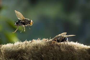 Blue Bottle Fly (Calliphoridae) lands on the pelage of a dead Townsend's Mole while another is already feeding. These flies are attracted to the odor of the decaying animal  -  Michael Durham