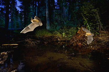 Western Long-eared Myotis (Myotis evotis) pair come to drink at a pond at dusk. Ochoco Pass, Oregon  -  Michael Durham