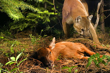 Mountain Lion (Puma concolor) uncovers a young Elk (Cervus elephus nelsoni) calf that it killed and covered with debris earlier, Wallowa County, Oregon * tags and tracking collar on cat were digitally...  -  Michael Durham