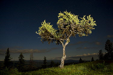 Mountain Mahogany (Cercocarpus ledifolius) photographed at night on a high ridge, Eden Bench, Wallowa County, Oregon  -  Michael Durham
