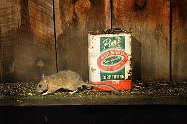 Bushy-tailed Woodrat (Neotoma cinerea) scurries along the shelf of an abandoned shack in North East Oregon  -  Michael Durham