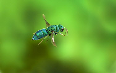 Cuckoo Wasp (Chrysididae) flying, Nature Conservancy's Zumwalt Prairie Preserve in northeast Oregon. This insect, like the cuckoo bird, lays her eggs in the nest of an unsuspecting host  -  Michael Durham