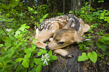 Mule Deer (Odocoileus hemionus) newborn fawn hides in the forest, waiting for the return of its mother, Siuslaw National Forest, Oregon  -  Michael Durham