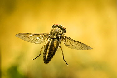 Horse Fly (Chrysops relictus) female flying. Collected off a horse and photographed with a high-speed camera, northeast Oregon  -  Michael Durham