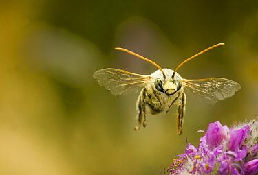 Digger Bee (Melissodes sp) male flying in desert habitat near Clarno, Oregon  -  Michael Durham