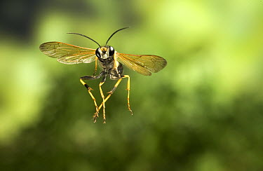 Black and Yellow Mud Dauber (Sceliphron caementarium) photographed flying with a high-speed camera  -  Michael Durham