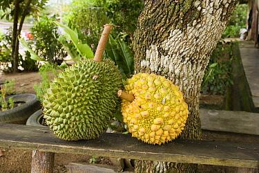 Durian (Durio zibethinus) fruit ripening in a Orang Asli village in Johore, Malaysia  -  Michael Durham