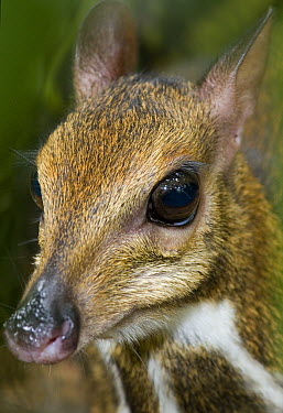 Lesser Malay Mouse Deer (Tragulus javanicus) at dusk in Endau-Rompin National Park, Malaysia  -  Michael Durham