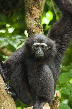 Hoolock Gibbon (Hylobates hoolock) sitting in tree, endangered, range China, India, Myanmar  -  Michael Durham