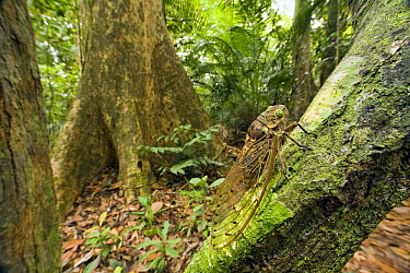 Giant Cicada (Pomponia imperatoria) in tropical rainforest, Endau-Rompin National Park, Malaysia  -  Michael Durham