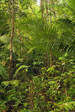 Rainforest interior - this humid jungle is one of the world's oldest rainforest. It has survived untouched by the ice ages for 130 million years, Endau-Rompin National Park, Malaysia  -  Michael Durham