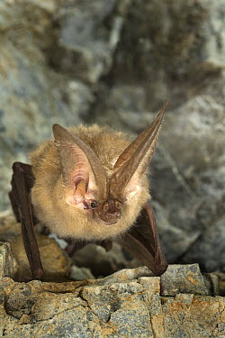 Townsend's Big-eared Bat (Corynorhinus townsendii) roosting in Gold Stake Mine, Coleville National Forest, Washington  -  Michael Durham
