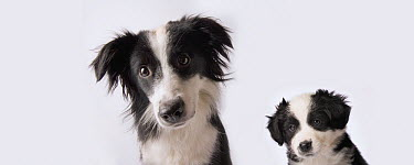 Border Collie and Australian Shepherd (Canis familiaris) mix female at nine weeks on the left and nine months old on the right  -  Michael Durham