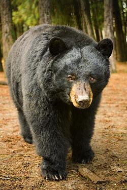 Black Bear (Ursus americanus) portrait during a mild winter, Oregon  -  Michael Durham