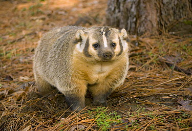 American Badger (Taxidea taxus) in Ponderosa Pine (Pinus ponderosa) forest, Oregon  -  Michael Durham
