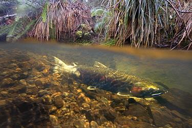 Coho Salmon (Oncorhynchus kisutch) female guarding her redd in Thompson Creek, Oregon  -  Michael Durham