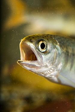 Coho Salmon (Oncorhynchus kisutch) fry  -  Michael Durham