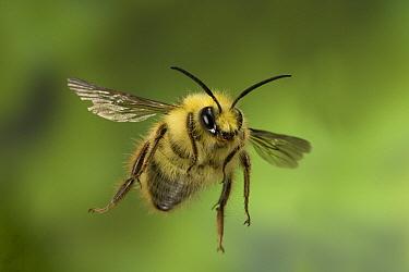 Mining Bee (Andrena sp) flying, western Oregon  -  Michael Durham