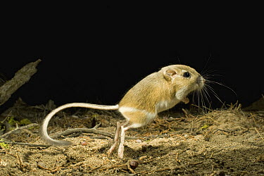Ord's Kangaroo Rat (Dipodomys ordii) jumping at night, Ochoco National Forest, Oregon  -  Michael Durham