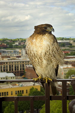 Red-tailed Hawk (Buteo jamaicensis) roosting on a fire escape in downtown Portland, Oregon  -  Michael Durham