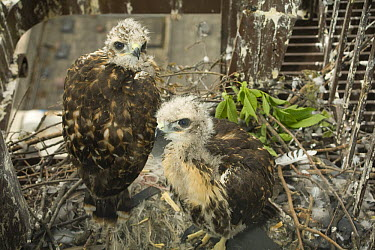 Red-tailed Hawk (Buteo jamaicensis) fledgling pair in nest on fire escape in downtown Portland, Oregon  -  Michael Durham