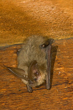 Townsend's Big-eared Bat (Corynorhinus townsendii) roosting in an abandoned house, Oregon  -  Michael Durham