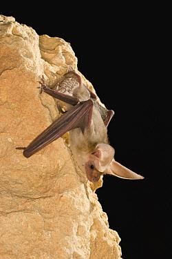 Pallid Bat (Antrozous pallidus) roosting at night near Marble Canyon, Arizona  -  Michael Durham