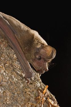 Brazilian Free-tailed Bat (Tadarida brasiliensis) roosting at night, Coconino National Forest, Arizona  -  Michael Durham
