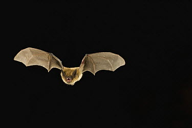 Arizona Myotis (Myotis occultus) flying at night, Coconino National Forest, Arizona  -  Michael Durham