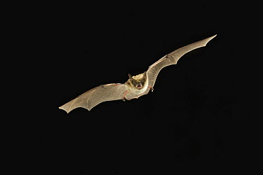 Fringed Myotis (Myotis thysanodes) bat flying at night, Coconino National Forest, Arizona  -  Michael Durham