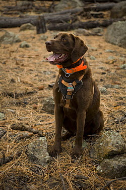 Chocolate Labrador Retriever (Canis familiaris) named CJ, sitting to indicate he has located a bat roosting site, Coconino National Forest, Arizona  -  Michael Durham
