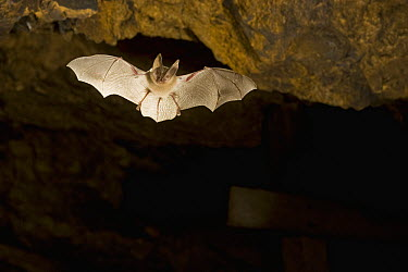 Townsend's Big-eared Bat (Corynorhinus townsendii) flying in abandoned mercury sulfide mine, central Oregon  -  Michael Durham