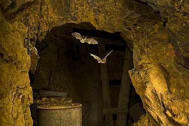 Townsend's Big-eared Bat (Corynorhinus townsendii) pair flying in abandoned mercury sulfide mine, central Oregon  -  Michael Durham
