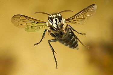 Bald-faced Hornet (Dolichovespula maculata) flying, western Oregon  -  Michael Durham