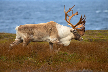 Woodland Caribou (Rangifer tarandus caribou) bull, Newfoundland, Canada