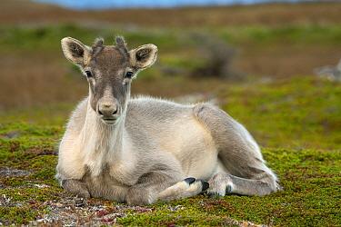 Woodland Caribou (Rangifer tarandus caribou) sub-adult, Newfoundland, Canada