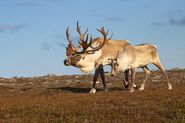 Woodland Caribou (Rangifer tarandus caribou) bull displaying to female, Newfoundland, Canada