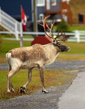Woodland Caribou (Rangifer tarandus caribou) bull in town, Newfoundland, Canada