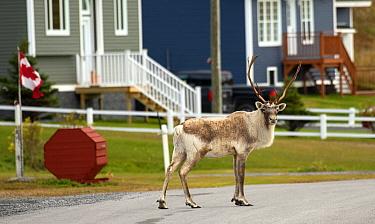 Woodland Caribou (Rangifer tarandus caribou) bull in town in autumn, Newfoundland, Canada