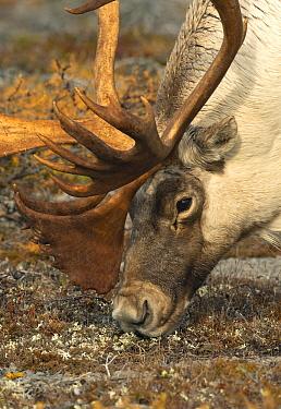 Woodland Caribou (Rangifer tarandus caribou) bull grazing, Newfoundland, Canada