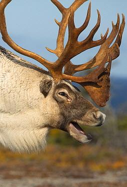 Woodland Caribou (Rangifer tarandus caribou) bull calling, Newfoundland, Canada
