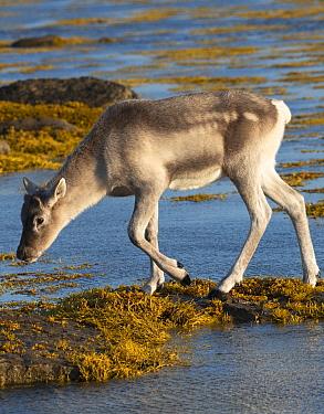 Woodland Caribou (Rangifer tarandus caribou) calf crossing river, Newfoundland, Canada